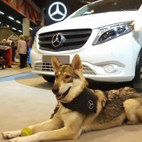 Miyax Lupine Dog Bella supports Mercedes at Crufts 2017