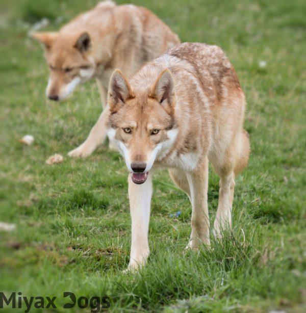 Anneka Svenska visits Miyax Dogs